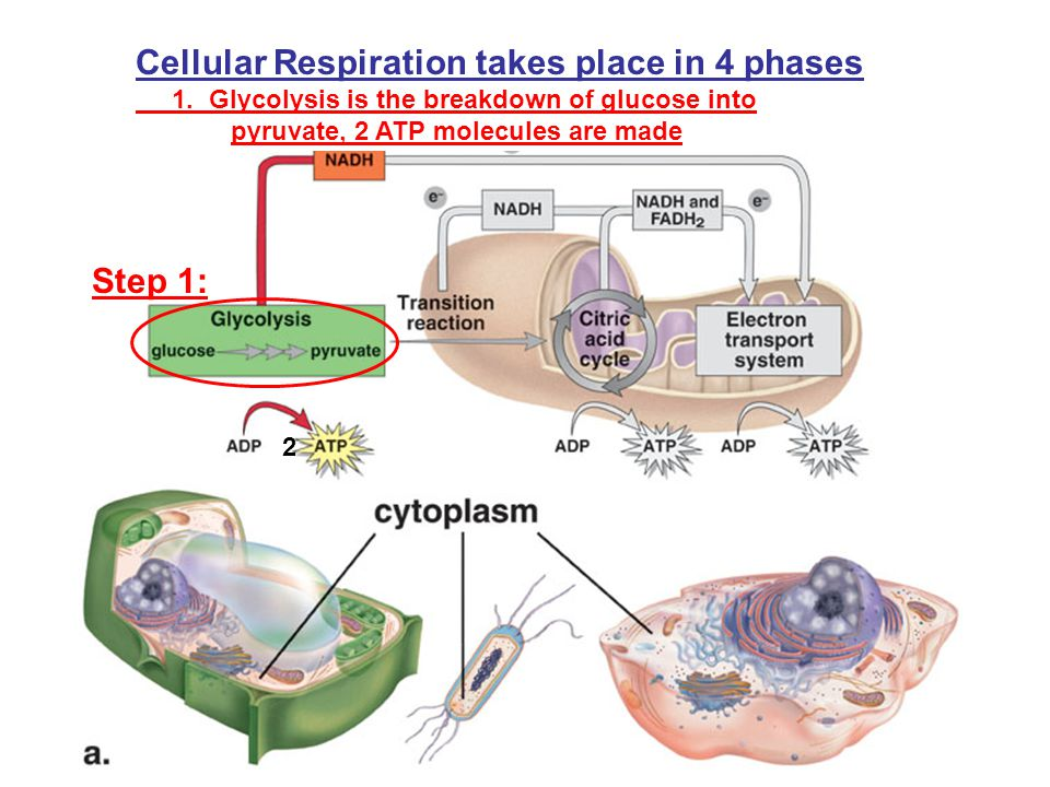Cellular Respiration takes place in 4 phases 1. Glycolysis is the breakdown of glucose into pyruvate, 2 ATP molecules are made Step 1: 2