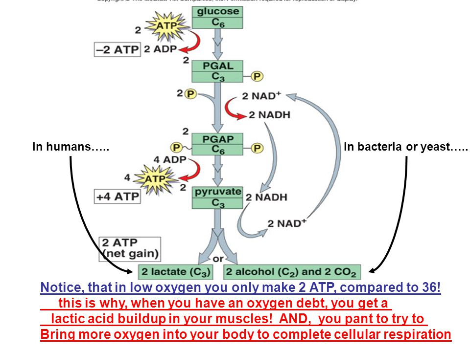 Notice, that in low oxygen you only make 2 ATP, compared to 36! this is why, when you have an oxygen debt, you get a lactic acid buildup in your muscl