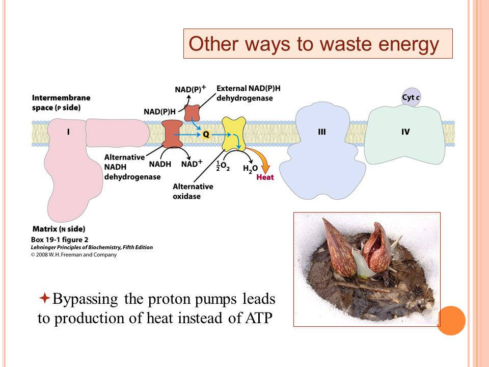 Other ways to waste energy  Bypassing the proton pumps leads to production of heat instead of ATP