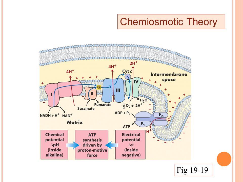 Chemiosmotic Theory Fig 19-19