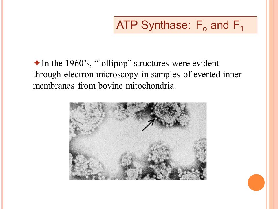 ATP Synthase: F o and F 1  In the 1960's, lollipop structures were evident through electron microscopy in samples of everted inner membranes from bovine mitochondria.