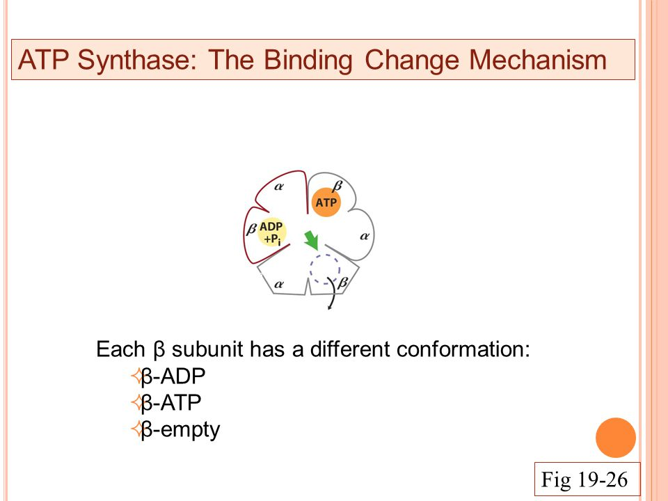 ATP Synthase: The Binding Change Mechanism Each β subunit has a different conformation:  β-ADP  β-ATP  β-empty Fig 19-26