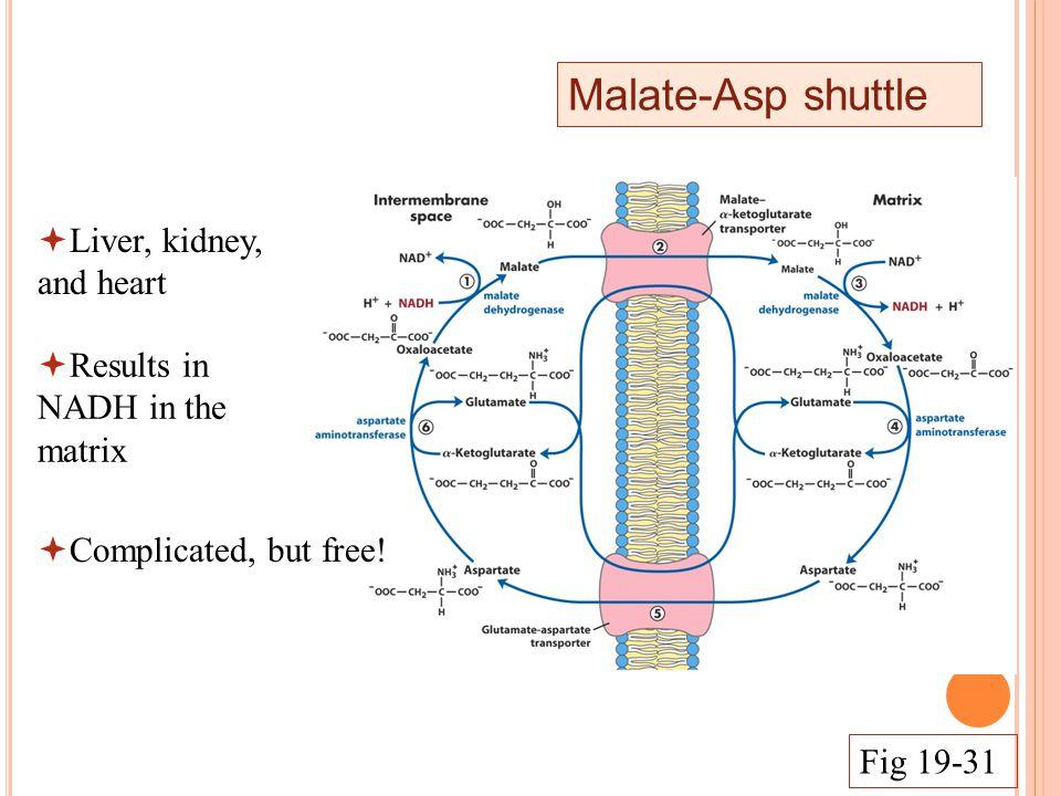 Malate-Asp shuttle  Complicated, but free.