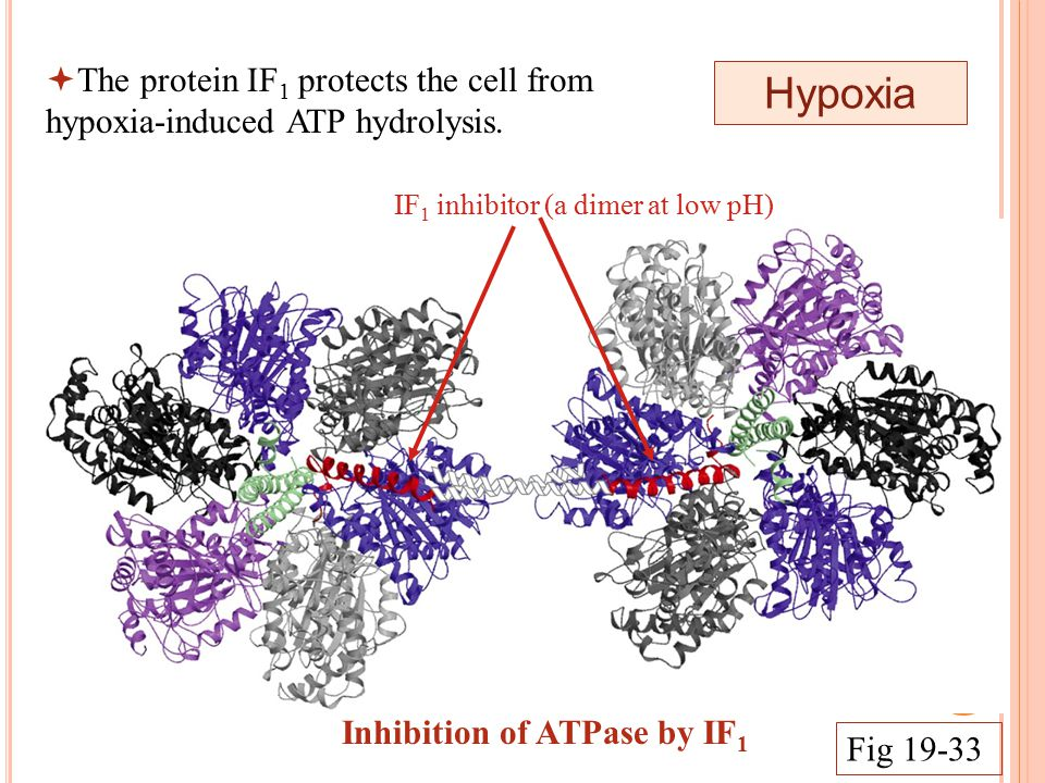IF 1 inhibitor (a dimer at low pH) Hypoxia Inhibition of ATPase by IF 1 Fig 19-33  The protein IF 1 protects the cell from hypoxia-induced ATP hydrolysis.