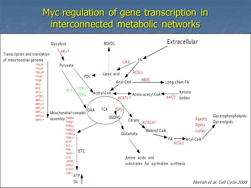 Myc regulation of gene transcription in interconnected metabolic networks Morrish et al.