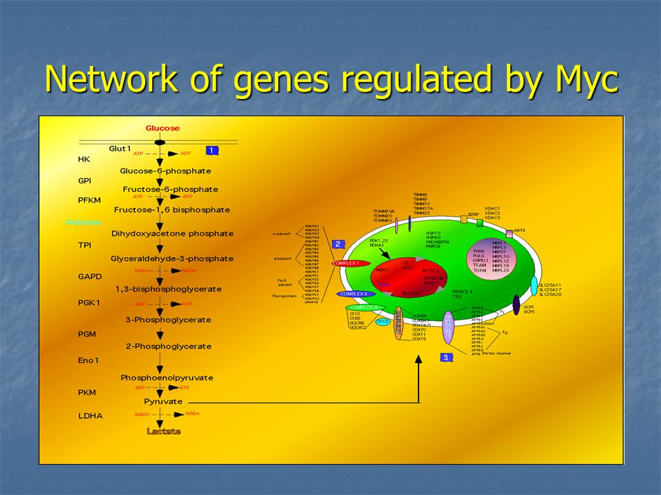 Network of genes regulated by Myc