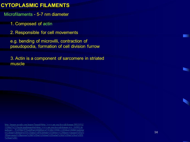 14 Microfilaments - 5-7 nm diameter CYTOPLASMIC FILAMENTS 1.