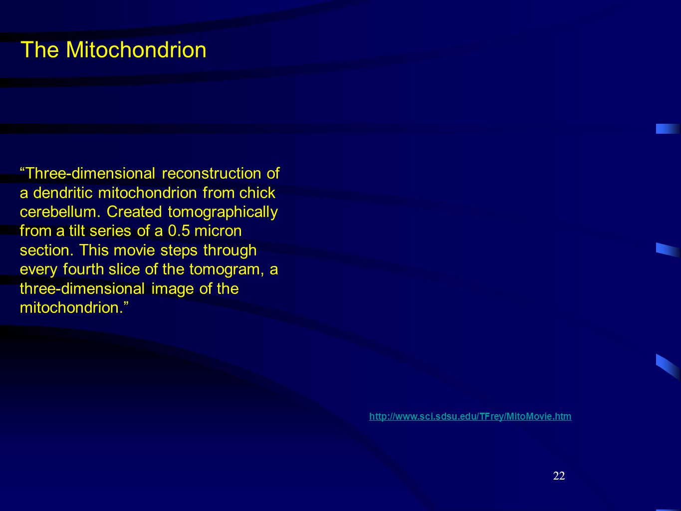 """22 The Mitochondrion """"Three-dimensional reconstruction of a dendritic mitochondrion from chick cerebellum. Created tomographically from a tilt series"""