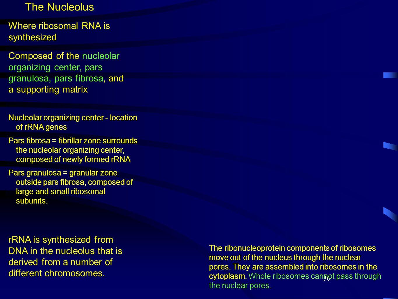 36 The Nucleolus Nucleolar organizing center - location of rRNA genes Pars fibrosa = fibrillar zone surrounds the nucleolar organizing center, composed of newly formed rRNA Pars granulosa = granular zone outside pars fibrosa, composed of large and small ribosomal subunits.