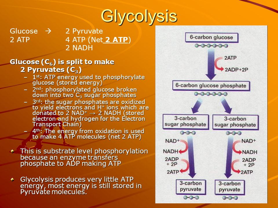 Glycolysis Glucose (C 6 ) is split to make 2 Pyruvates (C 3 ) –1 st : ATP energy used to phosphorylate glucose (stored energy) –2 nd : phosphorylated glucose broken down into two C 3 sugar phosphates –3 rd : the sugar phosphates are oxidized to yield electrons and H + ions which are donated to 2 NAD + → 2 NADH (stored electron and hydrogen for the Electron Transport Chain) –4 th : The energy from oxidation is used to make 4 ATP molecules (net 2 ATP) This is substrate level phosphorylation because an enzyme transfers phosphate to ADP making ATP Glycolysis produces very little ATP energy, most energy is still stored in Pyruvate molecules.
