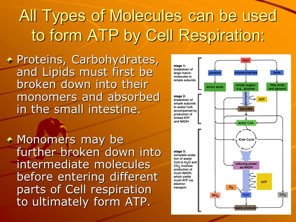 All Types of Molecules can be used to form ATP by Cell Respiration: Proteins, Carbohydrates, and Lipids must first be broken down into their monomers and absorbed in the small intestine.