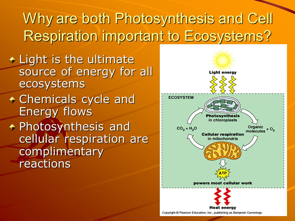 Why are both Photosynthesis and Cell Respiration important to Ecosystems.