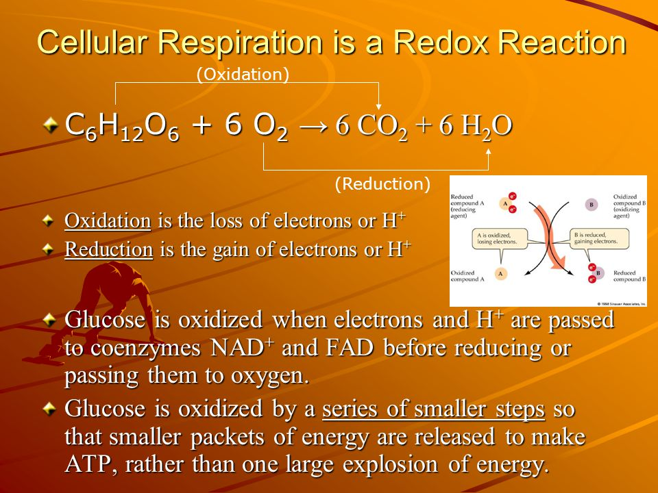 Cellular Respiration is a Redox Reaction C 6 H 12 O 6 + 6 O 2 → 6 CO 2 + 6 H 2 O Oxidation is the loss of electrons or H + Reduction is the gain of electrons or H + Glucose is oxidized when electrons and H + are passed to coenzymes NAD + and FAD before reducing or passing them to oxygen.