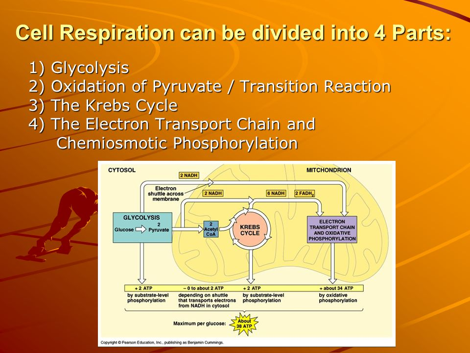 Cell Respiration can be divided into 4 Parts: 1) Glycolysis 2) Oxidation of Pyruvate / Transition Reaction 3) The Krebs Cycle 4) The Electron Transport Chain and Chemiosmotic Phosphorylation Chemiosmotic Phosphorylation