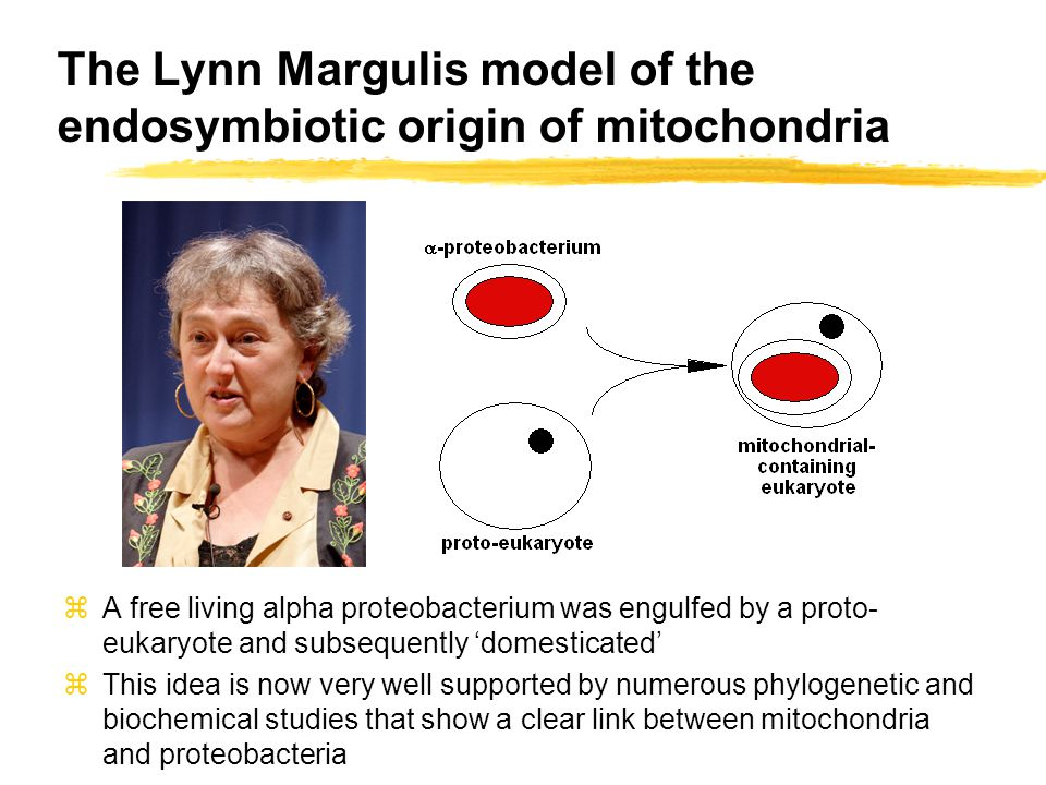 The Lynn Margulis model of the endosymbiotic origin of mitochondria zA free living alpha proteobacterium was engulfed by a proto- eukaryote and subsequently 'domesticated' zThis idea is now very well supported by numerous phylogenetic and biochemical studies that show a clear link between mitochondria and proteobacteria