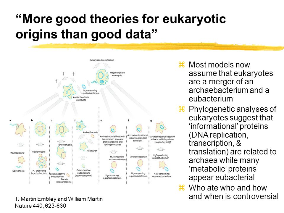 More good theories for eukaryotic origins than good data T.