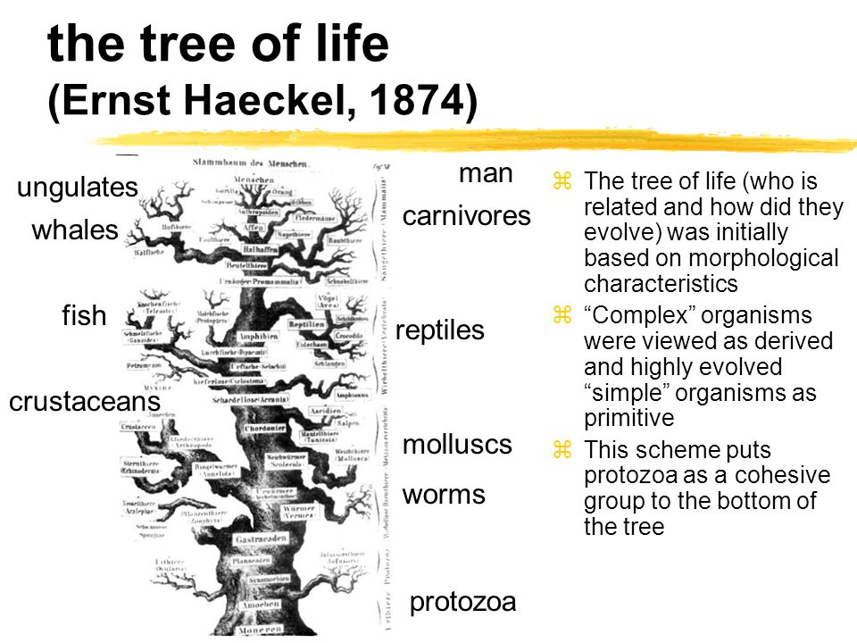 the tree of life (Ernst Haeckel, 1874) protozoa reptiles molluscs man crustaceans whales fish worms carnivores ungulates zThe tree of life (who is related and how did they evolve) was initially based on morphological characteristics z Complex organisms were viewed as derived and highly evolved simple organisms as primitive zThis scheme puts protozoa as a cohesive group to the bottom of the tree