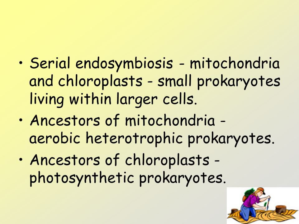 Serial endosymbiosis - mitochondria and chloroplasts - small prokaryotes living within larger cells. Ancestors of mitochondria - aerobic heterotrophic