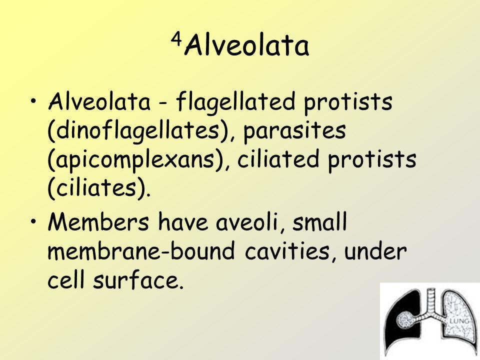 4 Alveolata Alveolata - flagellated protists (dinoflagellates), parasites (apicomplexans), ciliated protists (ciliates). Members have aveoli, small me