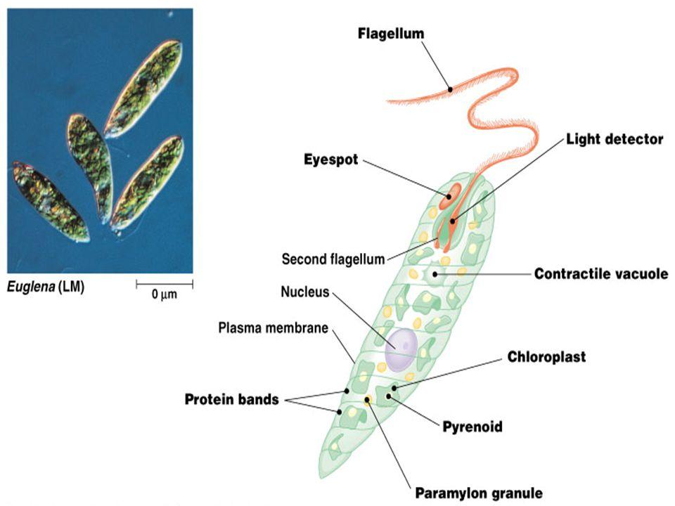 8 Heterokont algae Diatoms (Bacillariophyta) - glasslike walls composed of hydrated silica embedded in organic matrix.