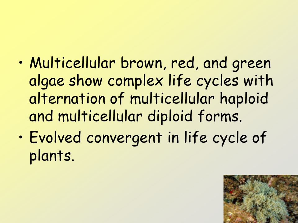 Multicellular brown, red, and green algae show complex life cycles with alternation of multicellular haploid and multicellular diploid forms. Evolved