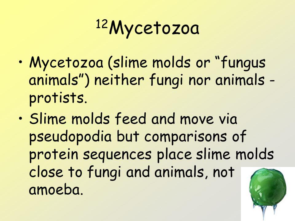 "12 Mycetozoa Mycetozoa (slime molds or ""fungus animals"") neither fungi nor animals - protists. Slime molds feed and move via pseudopodia but compariso"
