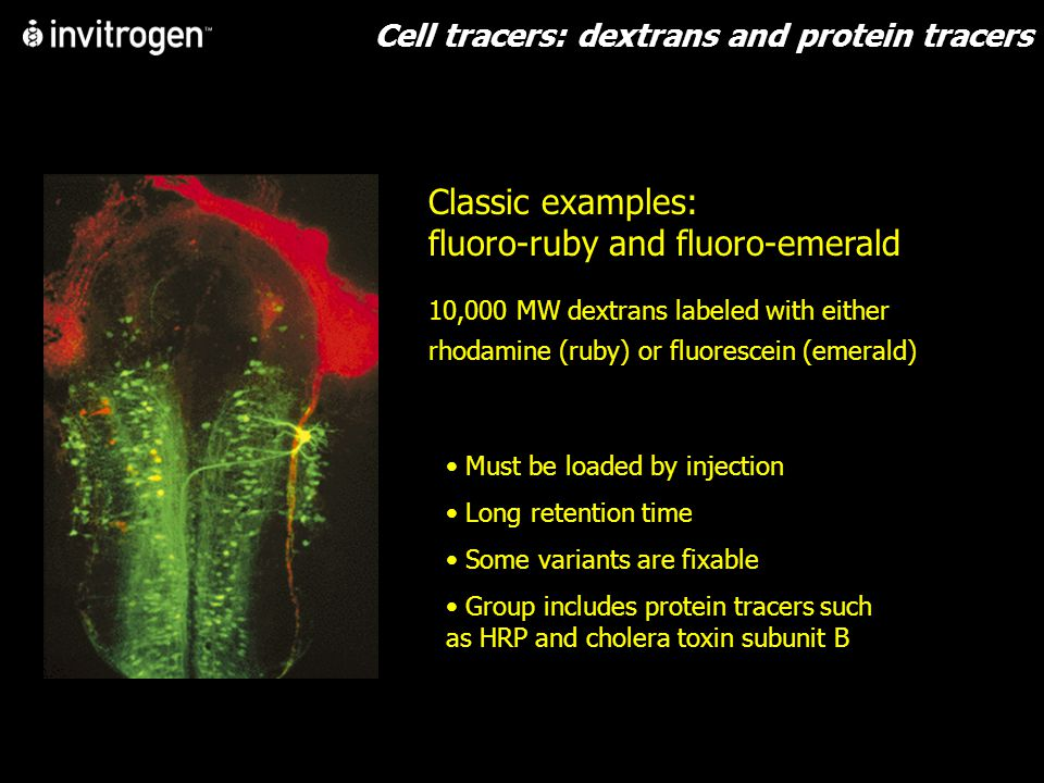 Cell tracers: dextrans and protein tracers Classic examples: fluoro-ruby and fluoro-emerald 10,000 MW dextrans labeled with either rhodamine (ruby) or fluorescein (emerald) Must be loaded by injection Long retention time Some variants are fixable Group includes protein tracers such as HRP and cholera toxin subunit B