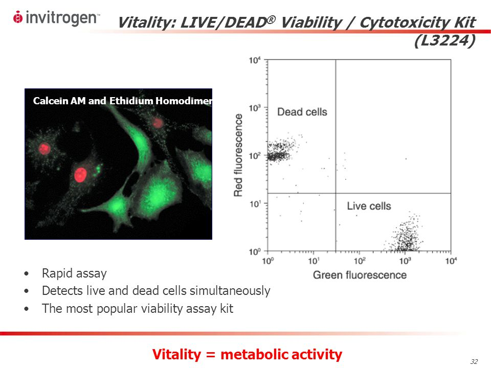 32 Calcein AM and Ethidium Homodimer-1 Vitality: LIVE/DEAD ® Viability / Cytotoxicity Kit (L3224) Vitality = metabolic activity Rapid assay Detects live and dead cells simultaneously The most popular viability assay kit