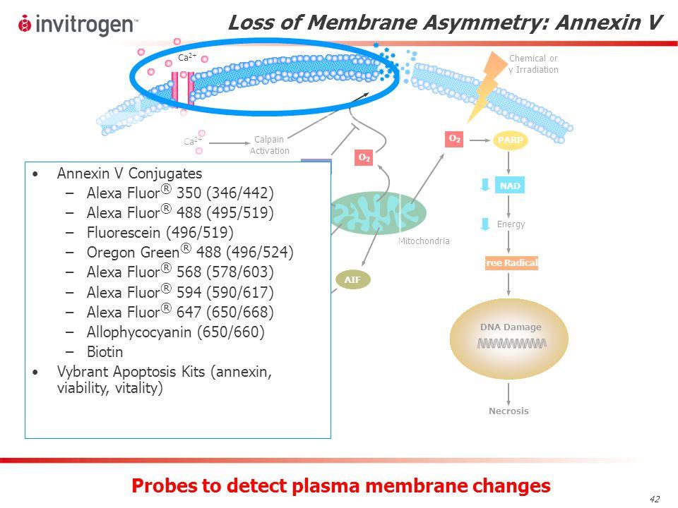 42 Loss of Membrane Asymmetry: Annexin V Probes to detect plasma membrane changes Annexin V Conjugates –Alexa Fluor ® 350 (346/442) –Alexa Fluor ® 488 (495/519) –Fluorescein (496/519) –Oregon Green ® 488 (496/524) –Alexa Fluor ® 568 (578/603) –Alexa Fluor ® 594 (590/617) –Alexa Fluor ® 647 (650/668) –Allophycocyanin (650/660) –Biotin Vybrant Apoptosis Kits (annexin, viability, vitality)