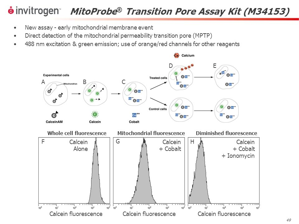 49 MitoProbe ® Transition Pore Assay Kit (M34153) BPAE cells + calcein AM / CoCl 2 Calcein + Cobalt Calcein + Cobalt + Ionomycin Calcein fluorescence F G H Calcein Alone Calcein fluorescence Whole cell fluorescenceMitochondrial fluorescenceDiminished fluorescence New assay - early mitochondrial membrane event Direct detection of the mitochondrial permeability transition pore (MPTP) 488 nm excitation & green emission; use of orange/red channels for other reagents ABC DE
