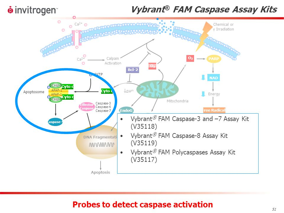 51 Vybrant ® FAM Caspase Assay Kits Probes to detect caspase activation Vybrant ® FAM Caspase-3 and –7 Assay Kit (V35118) Vybrant ® FAM Caspase-8 Assay Kit (V35119) Vybrant ® FAM Polycaspases Assay Kit (V35117)
