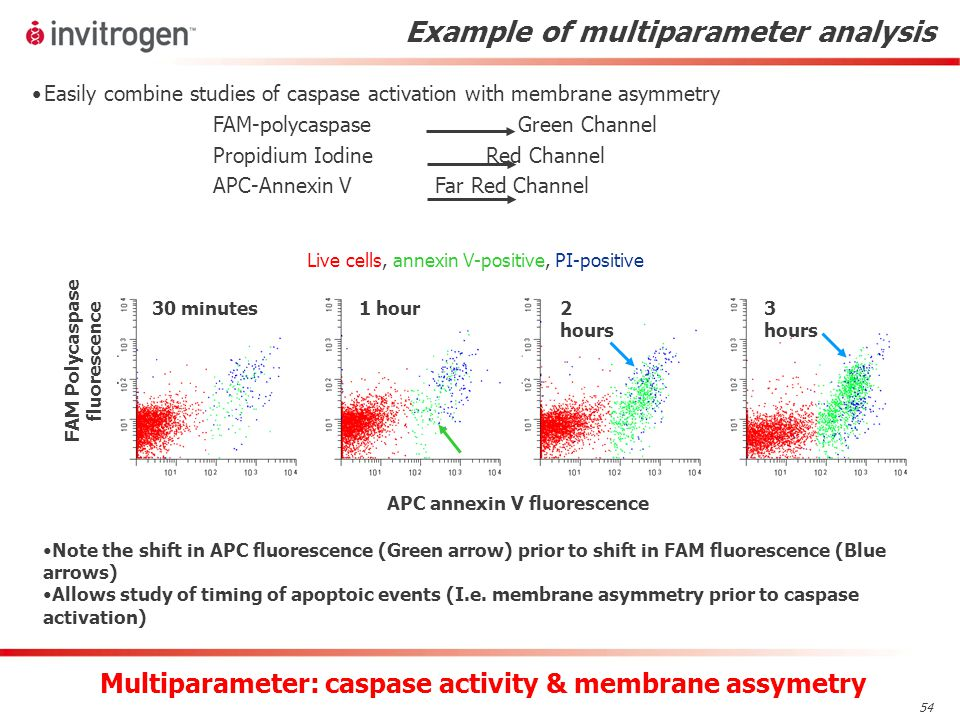 54 Example of multiparameter analysis APC annexin V fluorescence 30 minutes1 hour 2 hours 3 hours FAM Polycaspase fluorescence Note the shift in APC fluorescence (Green arrow) prior to shift in FAM fluorescence (Blue arrows) Allows study of timing of apoptoic events (I.e.