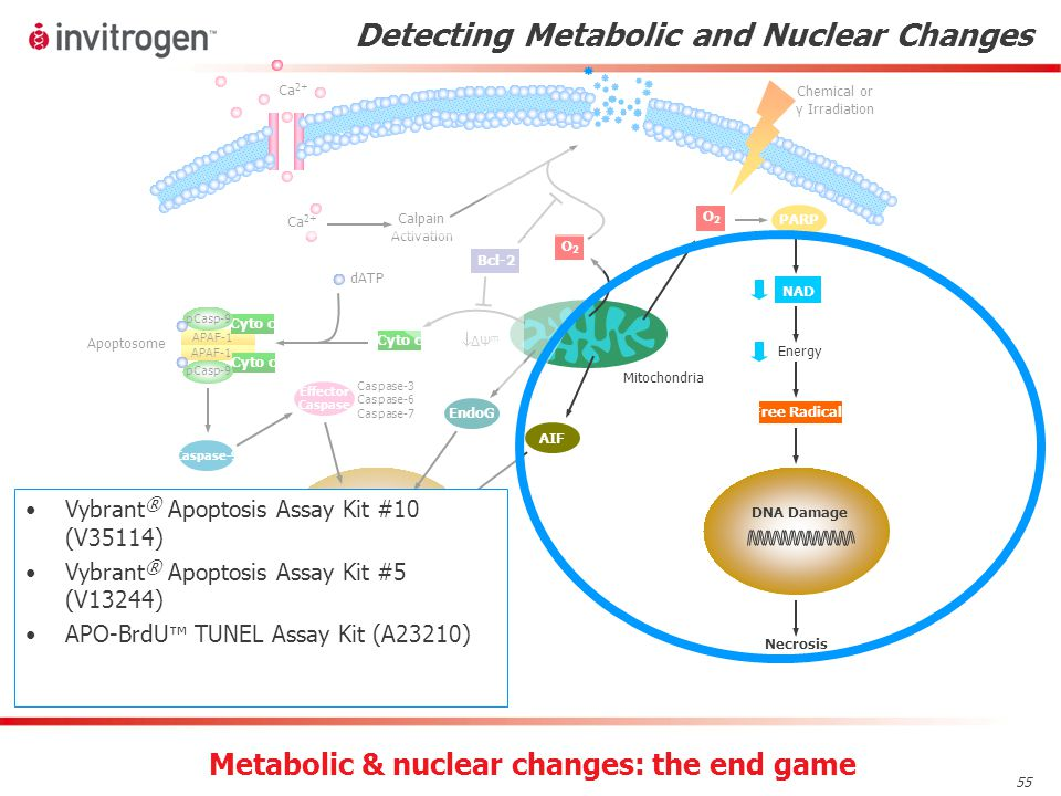 55 Detecting Metabolic and Nuclear Changes Vybrant ® Apoptosis Assay Kit #10 (V35114) Vybrant ® Apoptosis Assay Kit #5 (V13244) APO-BrdU ™ TUNEL Assay Kit (A23210) Metabolic & nuclear changes: the end game