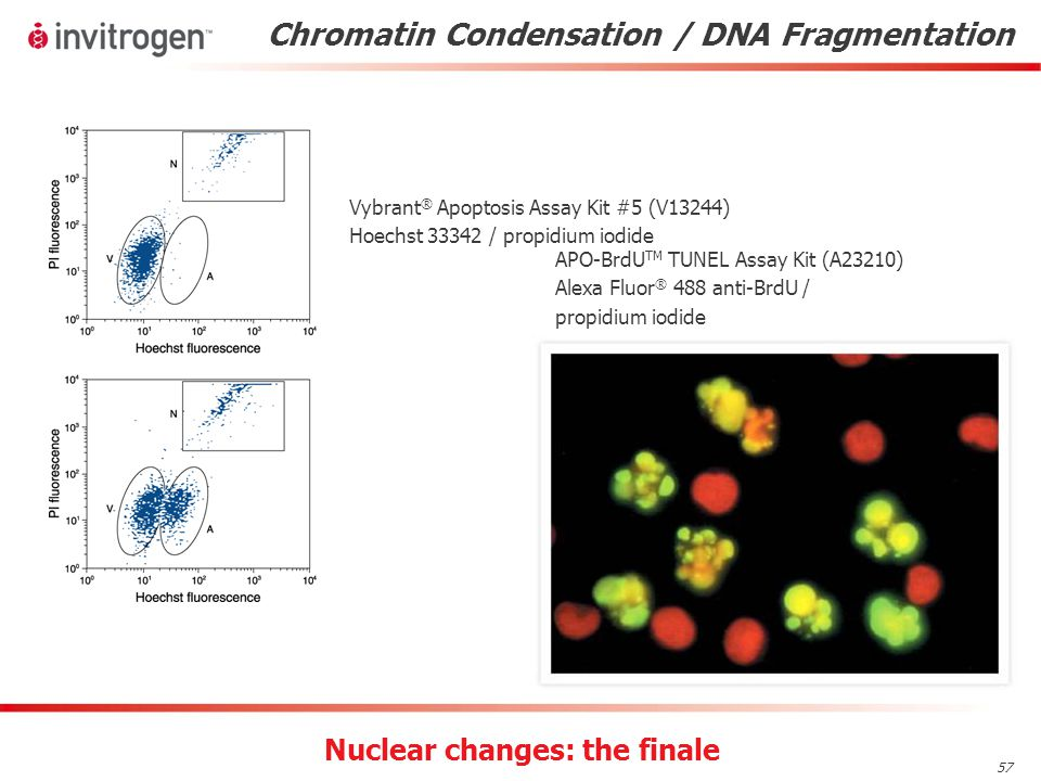57 Chromatin Condensation / DNA Fragmentation Vybrant ® Apoptosis Assay Kit #5 (V13244) Hoechst 33342 / propidium iodide APO-BrdU TM TUNEL Assay Kit (A23210) Alexa Fluor ® 488 anti-BrdU / propidium iodide Nuclear changes: the finale