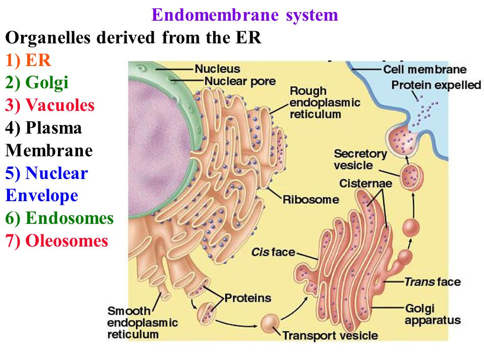 Endomembrane system Organelles derived from the ER 1) ER 2) Golgi 3) Vacuoles 4) Plasma Membrane 5) Nuclear Envelope 6) Endosomes 7) Oleosomes