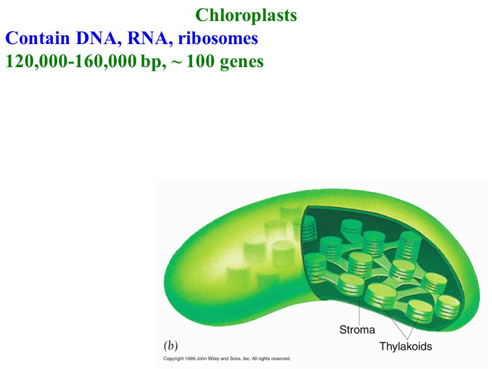 Chloroplasts Contain DNA, RNA, ribosomes 120,000-160,000 bp, ~ 100 genes