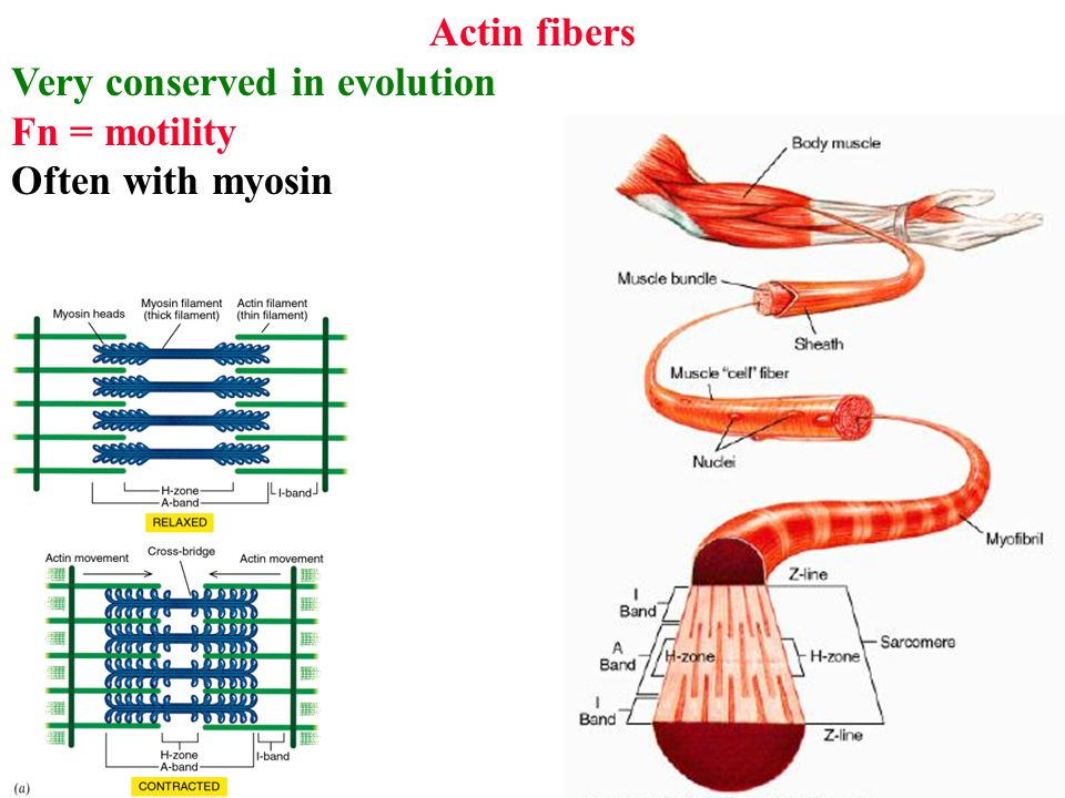 Actin fibers Very conserved in evolution Fn = motility Often with myosin