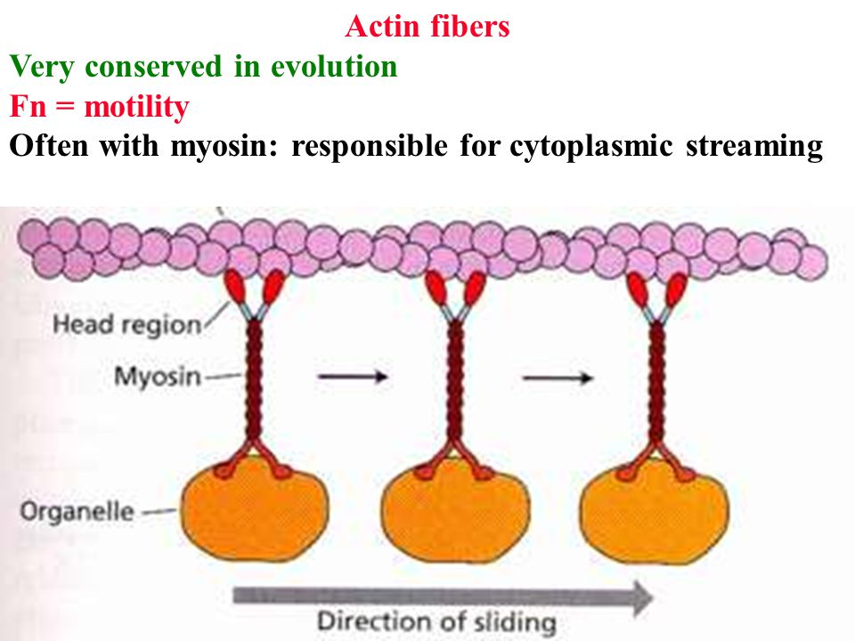 Actin fibers Very conserved in evolution Fn = motility Often with myosin: responsible for cytoplasmic streaming