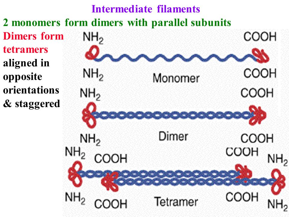 Intermediate filaments 2 monomers form dimers with parallel subunits Dimers form tetramers aligned in opposite orientations & staggered