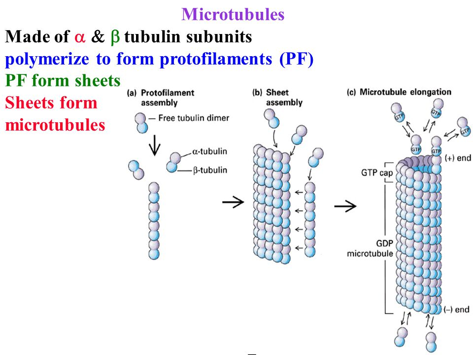 Microtubules Made of  tubulin subunits polymerize to form protofilaments (PF) PF form sheets Sheets form microtubules