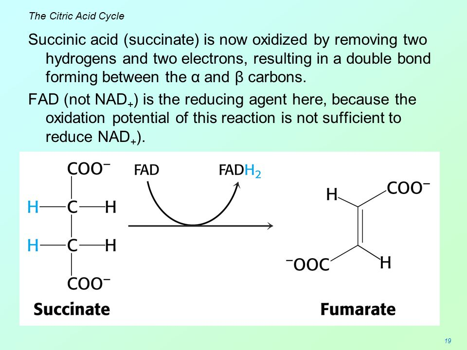 19 The Citric Acid Cycle Succinic acid (succinate) is now oxidized by removing two hydrogens and two electrons, resulting in a double bond forming bet