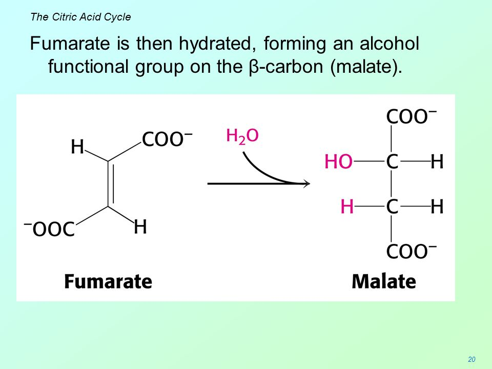 20 The Citric Acid Cycle Fumarate is then hydrated, forming an alcohol functional group on the β-carbon (malate).