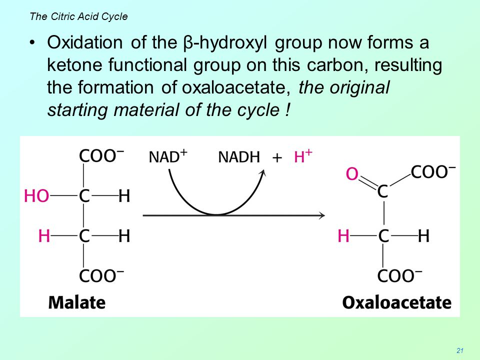 21 The Citric Acid Cycle Oxidation of the β-hydroxyl group now forms a ketone functional group on this carbon, resulting the formation of oxaloacetate