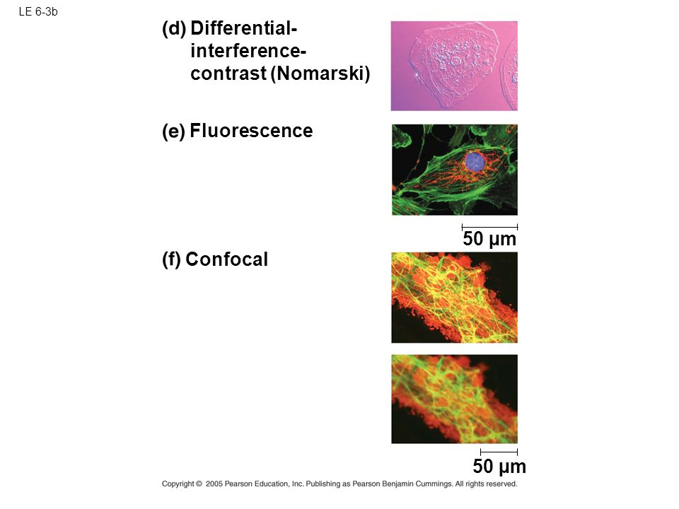 LE 6-3b 50 µm Confocal Differential- interference- contrast (Nomarski) Fluorescence