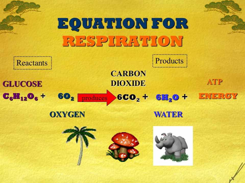 EQUATION FOR RESPIRATION C 6 H 12 O 6 + GLUCOSE 6O 2 OXYGEN produces 6CO 2 + CARBON DIOXIDE 6H 2 O + ENERGY WATER ATP Reactants Products