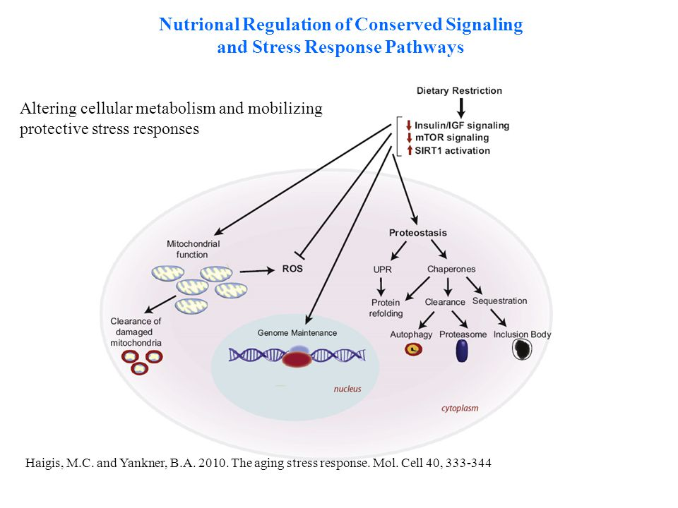 Haigis, M.C. and Yankner, B.A. 2010. The aging stress response. Mol. Cell 40, 333-344 Nutrional Regulation of Conserved Signaling and Stress Response