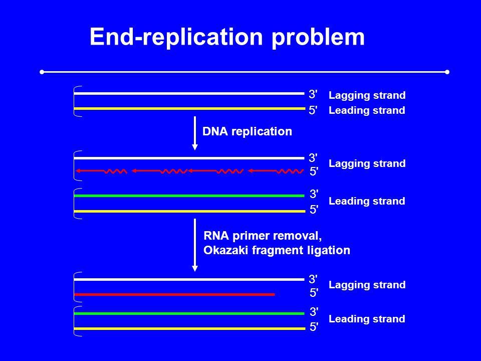 End-replication problem 3 5 DNA replication 3 5 3 5 3 5 RNA primer removal, Okazaki fragment ligation Leading strand Lagging strand Leading strand Lagging strand Leading strand