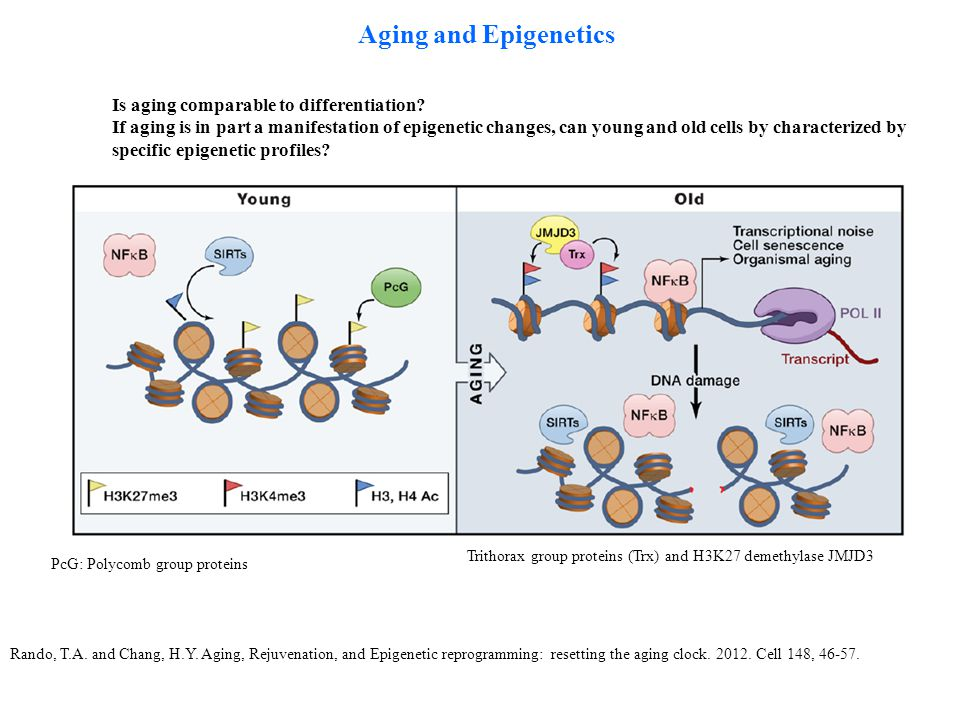Aging and Epigenetics Rando, T.A. and Chang, H.Y. Aging, Rejuvenation, and Epigenetic reprogramming: resetting the aging clock. 2012. Cell 148, 46-57.
