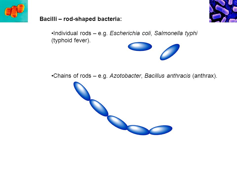 Bacilli – rod-shaped bacteria: Individual rods – e.g.