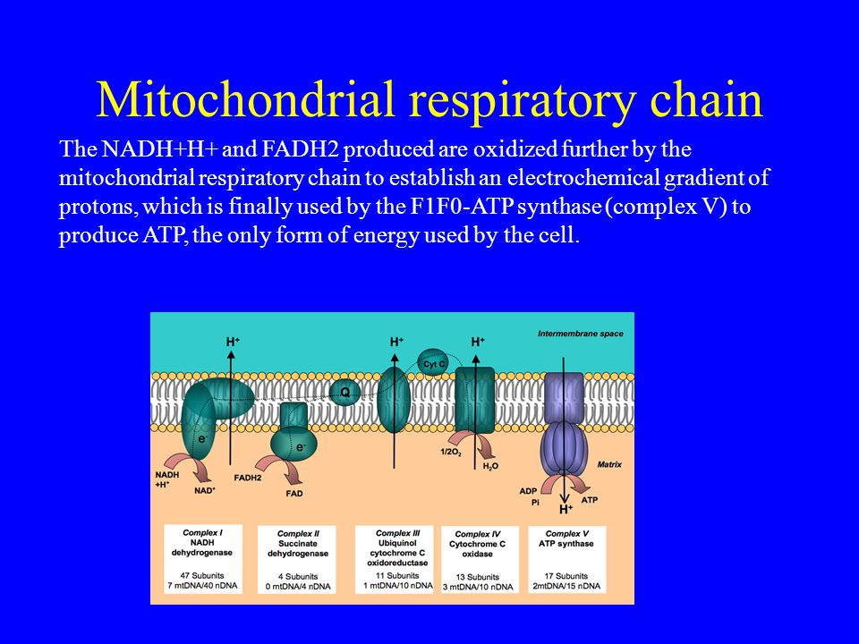 Mitochondrial respiratory chain The NADH+H+ and FADH2 produced are oxidized further by the mitochondrial respiratory chain to establish an electrochemical gradient of protons, which is finally used by the F1F0-ATP synthase (complex V) to produce ATP, the only form of energy used by the cell.